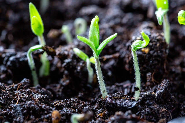 Key Difference - Sapling vs Seedling