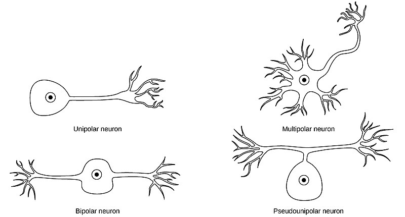 Difference Between Unipolar and Pseudounipolar Neuron