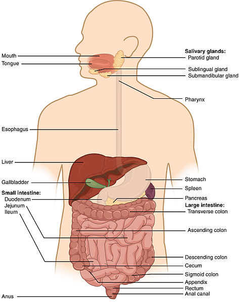 Difference Between Alimentary Canal and Digestive System
