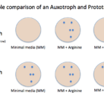 Difference Between Auxotrophs and Prototrophs