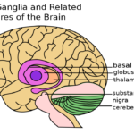 Difference Between Basal Ganglia and Cerebellum