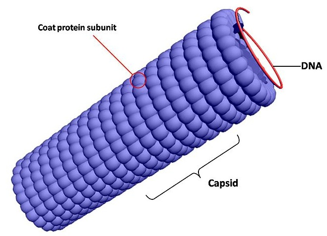 Difference Between Capsid and Nucleocapsid
