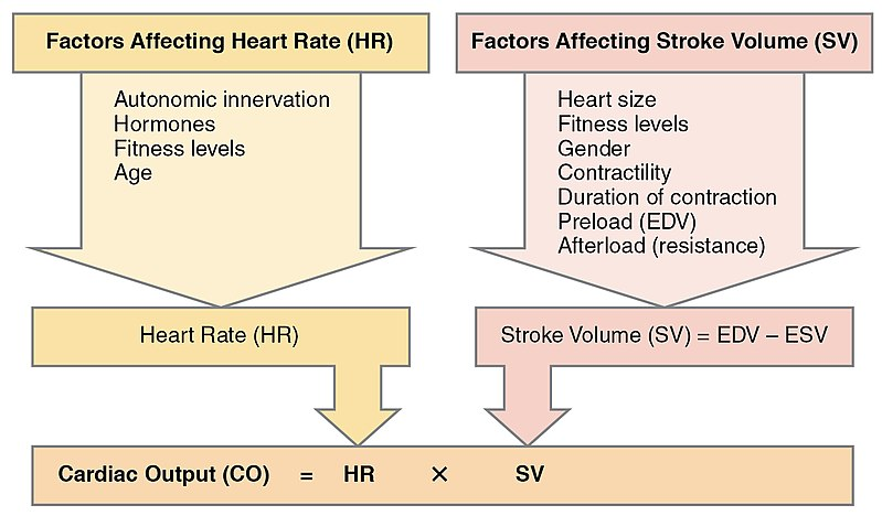 Key Difference - Cardiac Cycle vs Cardiac Output