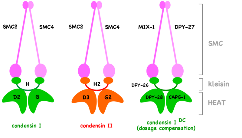 Difference Between Cohesin and Condensin