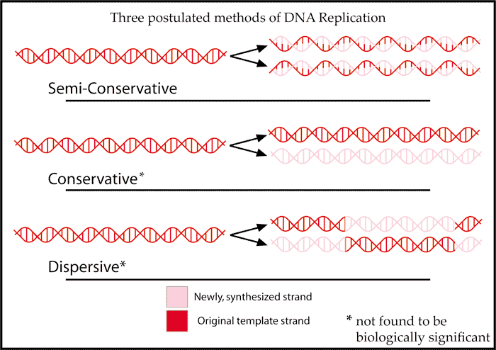 Difference Between Conservative Semiconservative and Dispersive Replication