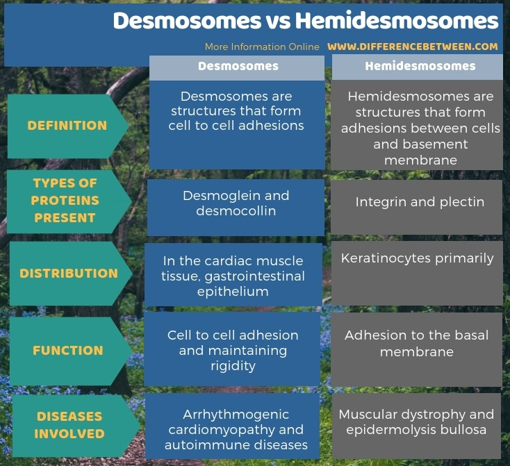 Difference Between Desmosomes and Hemidesmosomes in Tabular Form