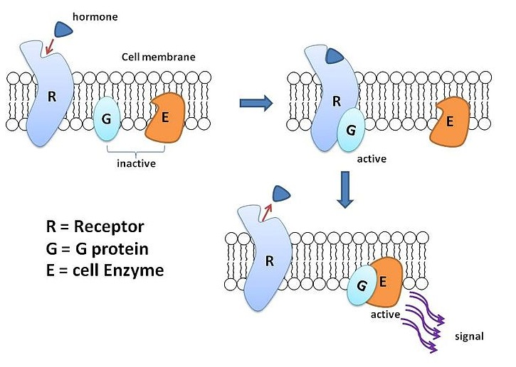 Key Difference - G Protein Linked Receptors vs Enzyme Linked Receptors