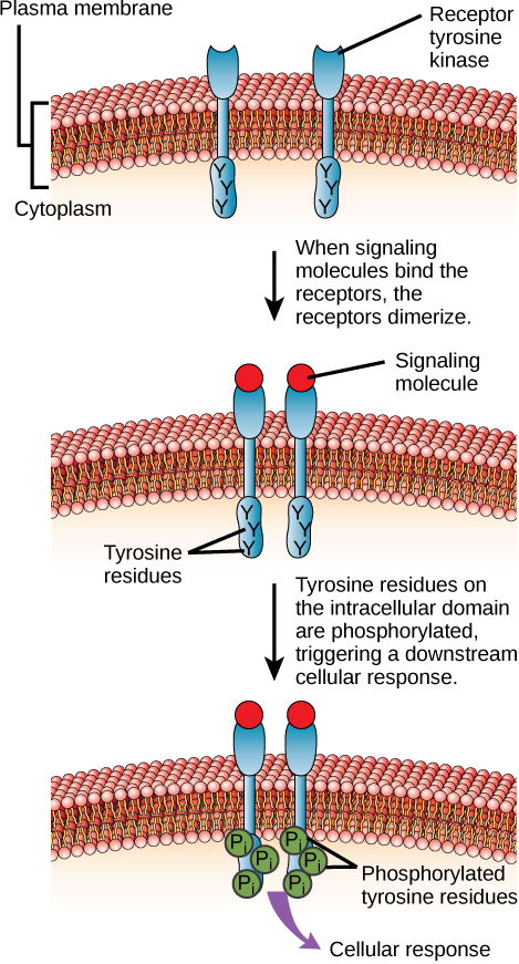 Difference Between G Protein Linked Receptors and Enzyme Linked Receptors