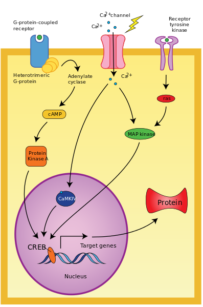 Difference Between Intracellular and Intercellular Signaling