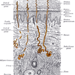 Difference Between Merocrine and Apocrine Sweat Glands