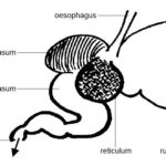 Difference Between Monogastric and Polygastric Digestive System