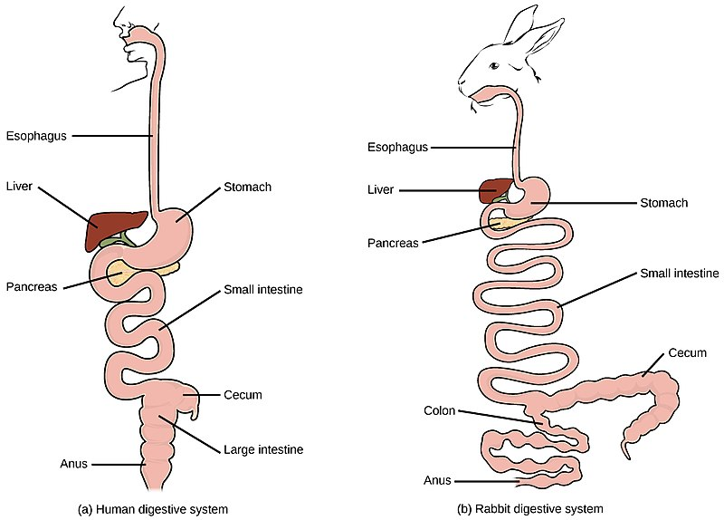 Key Difference - Monogastric vs Polygastric Digestive System