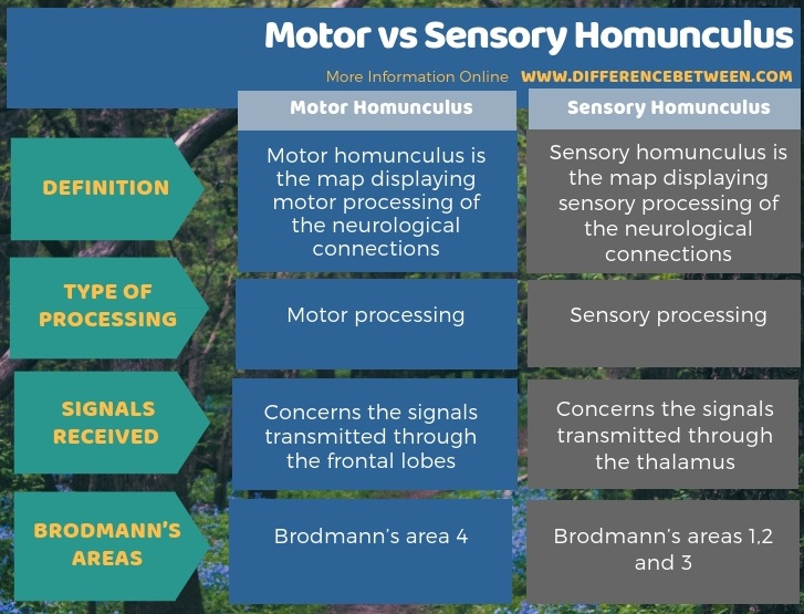 Difference Between Motor and Sensory Homunculus in Tabular Form