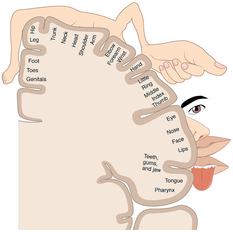 Difference Between Motor and Sensory Homunculus