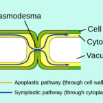 Difference Between Pits and Plasmodesmata