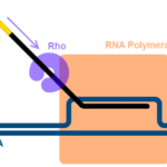 Difference Between Rho Dependent and Rho Independent Termination