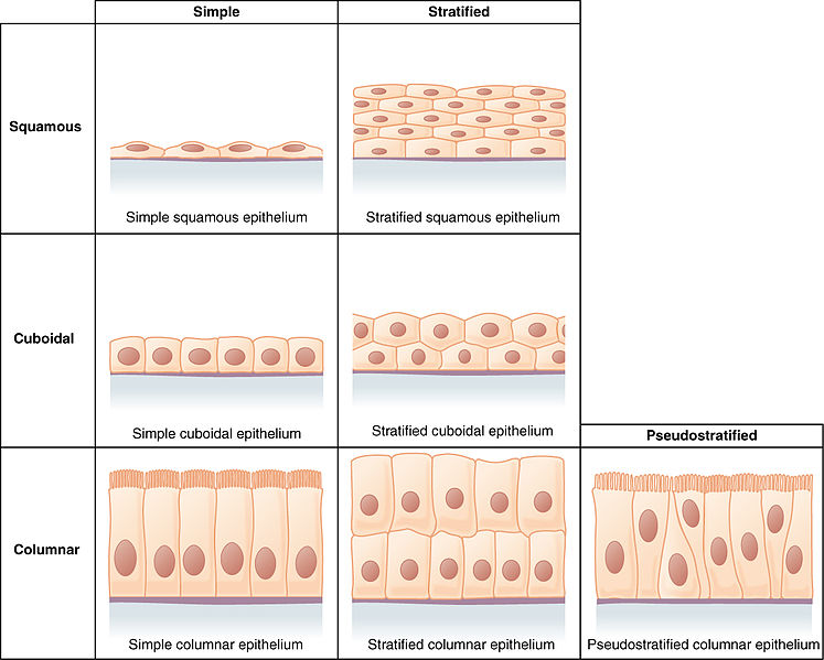 Main Difference - Simple Stratified vs Pseudostratified Epithelial Tissue