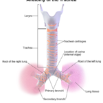 Difference Between Anatomical and Physiological Dead Space
