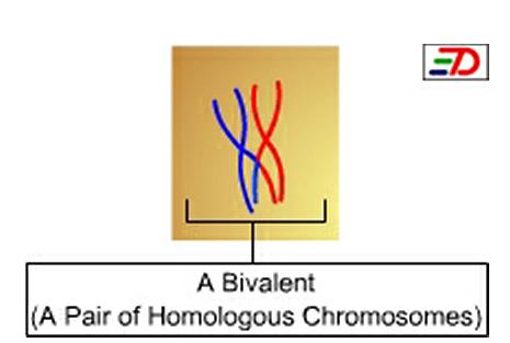Key Difference - Bivalent vs Synaptonemal Complex
