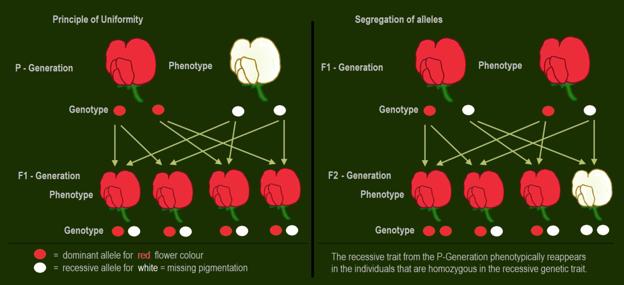 Difference Between Blending Theory and Mendelian Inheritance Theory