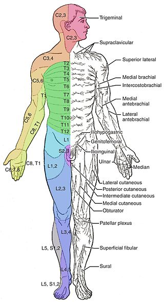 Key Difference - Dermatome vs Cutaneous Innervation