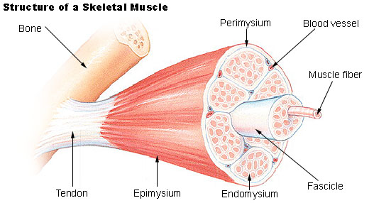 Key Difference - Endomysium vs Sarcolemma