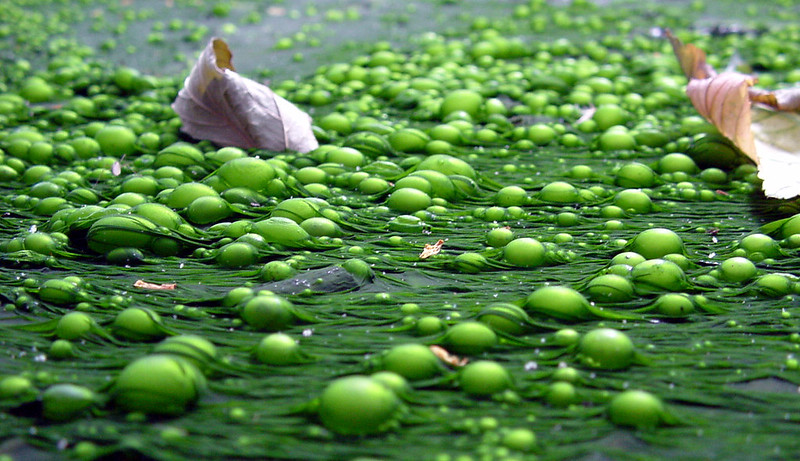 Key Difference - Eutrophication vs Algal Bloom