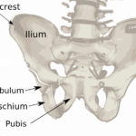 Difference Between Ilium and Ileum