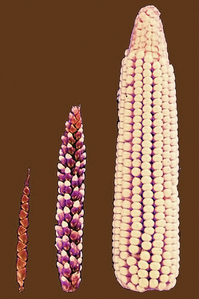 Key Difference - Interspecific vs Intraspecific Hybridization
