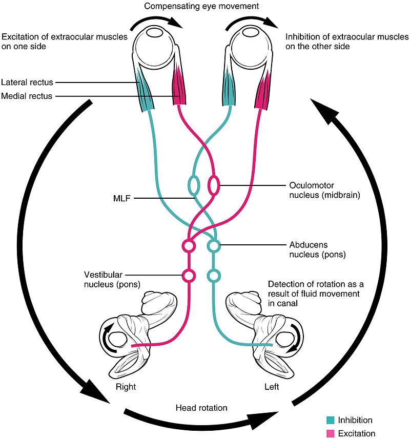 Difference Between Kinesthesia and Vestibular Sense