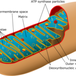 Difference Between Mitochondria and Kinetoplast