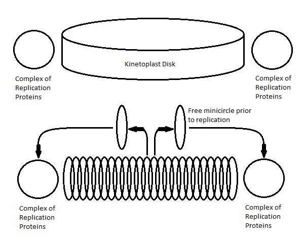 Key Difference - Mitochondria vs Kinetoplast