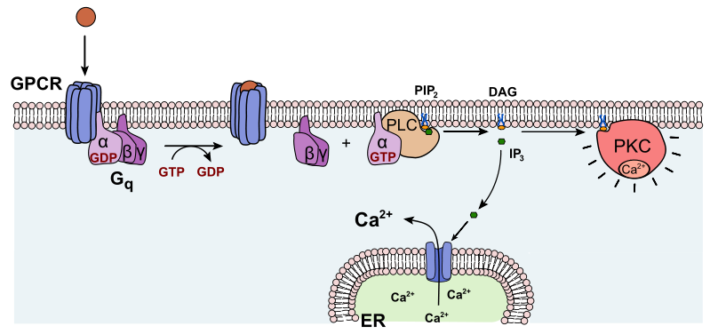 Difference Between Protein Kinase A and Protein Kinase C