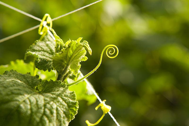 Key Difference - Stem Tendril vs Leaf Tendril