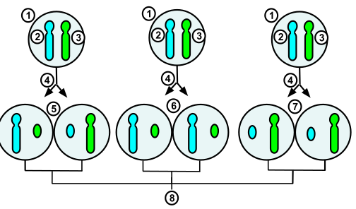 Difference Between X Inactivation and Genomic Imprinting