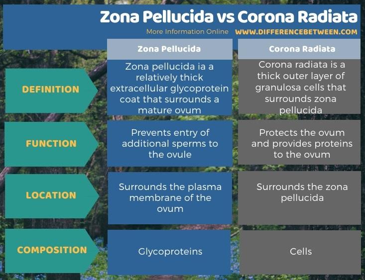 Difference Between Zona Pellucida and Corona Radiata in Tabular Form