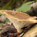 Difference Between Agaricus and Polyporus