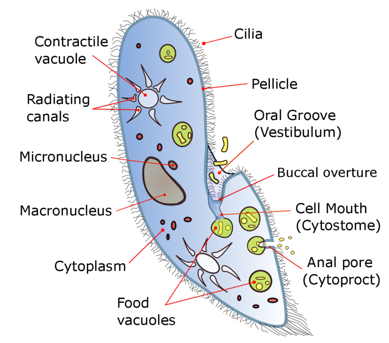Key Difference - Apicomplexia vs Ciliophora