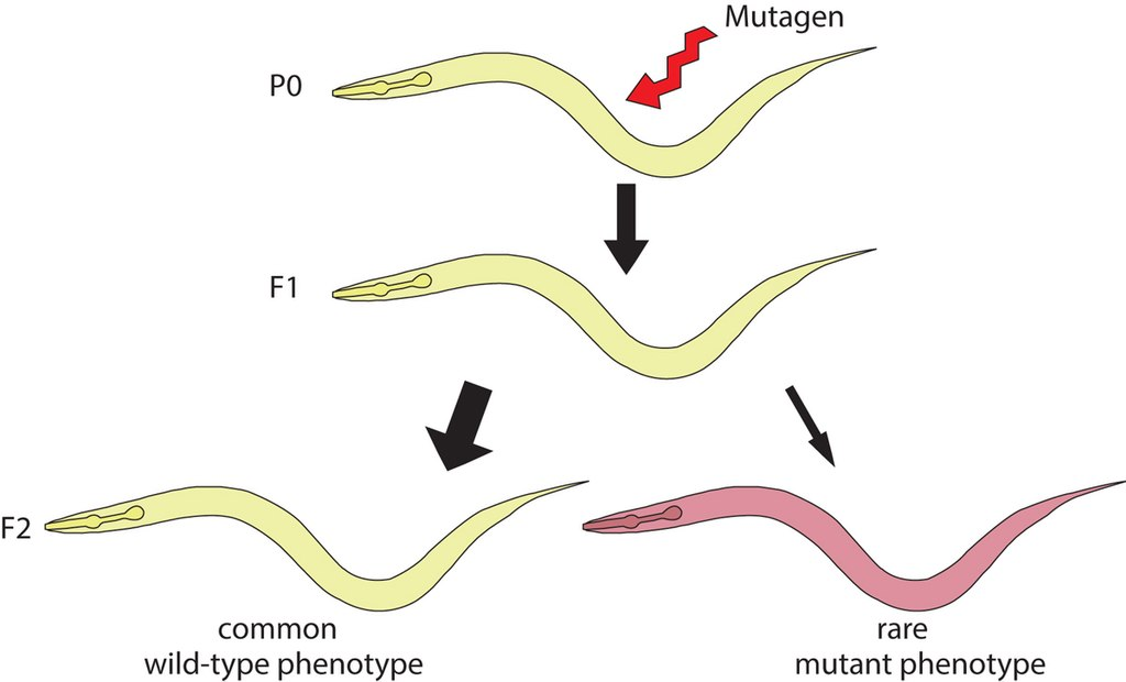 Difference Between Forward and Reverse Mutation