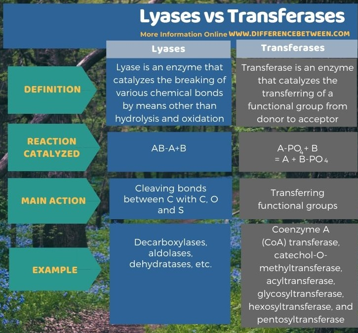 Difference Between Lyases and Transferases in Tabular Form