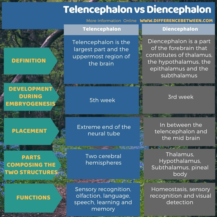Difference Between Telencephalon and Diencephalon in Tabular Form