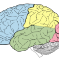 Difference Between Telencephalon and Diencephalon