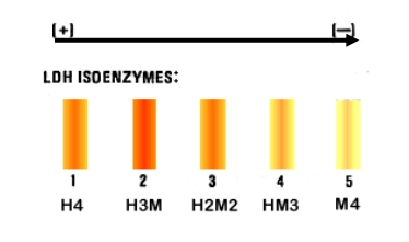 Difference Between Allozymes and Isozymes