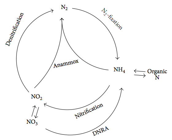 Difference Between Anammox and Denitrification