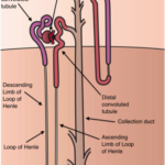 Difference Between Ascending and Descending Loop of Henle