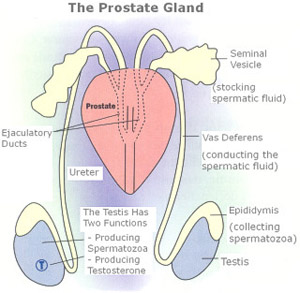 Difference Between Bulbourethral Gland and Prostate Gland