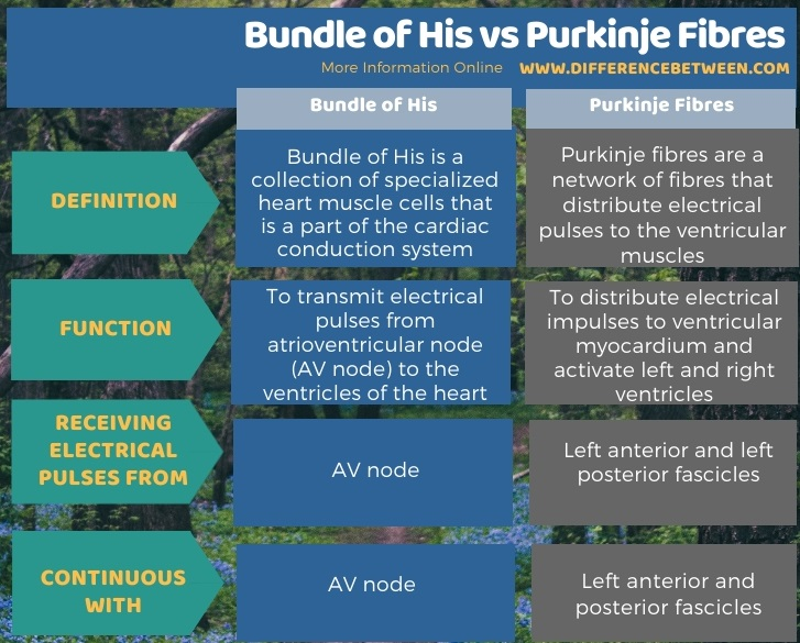 Difference Between Bundle of His and Purkinje Fibres in Tabular Form