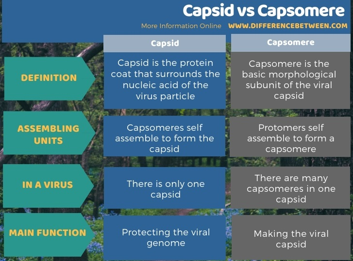 Difference Between Capsid and Capsomere in Tabular Form