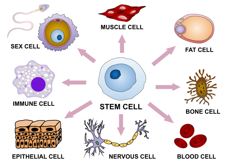 Difference Between Cellular Differentiation and Cell Division