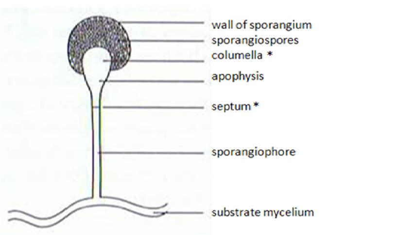 Key Difference - Conidiophore vs Sporangiophore